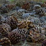 Pinecones by Daniel Raskin Photography