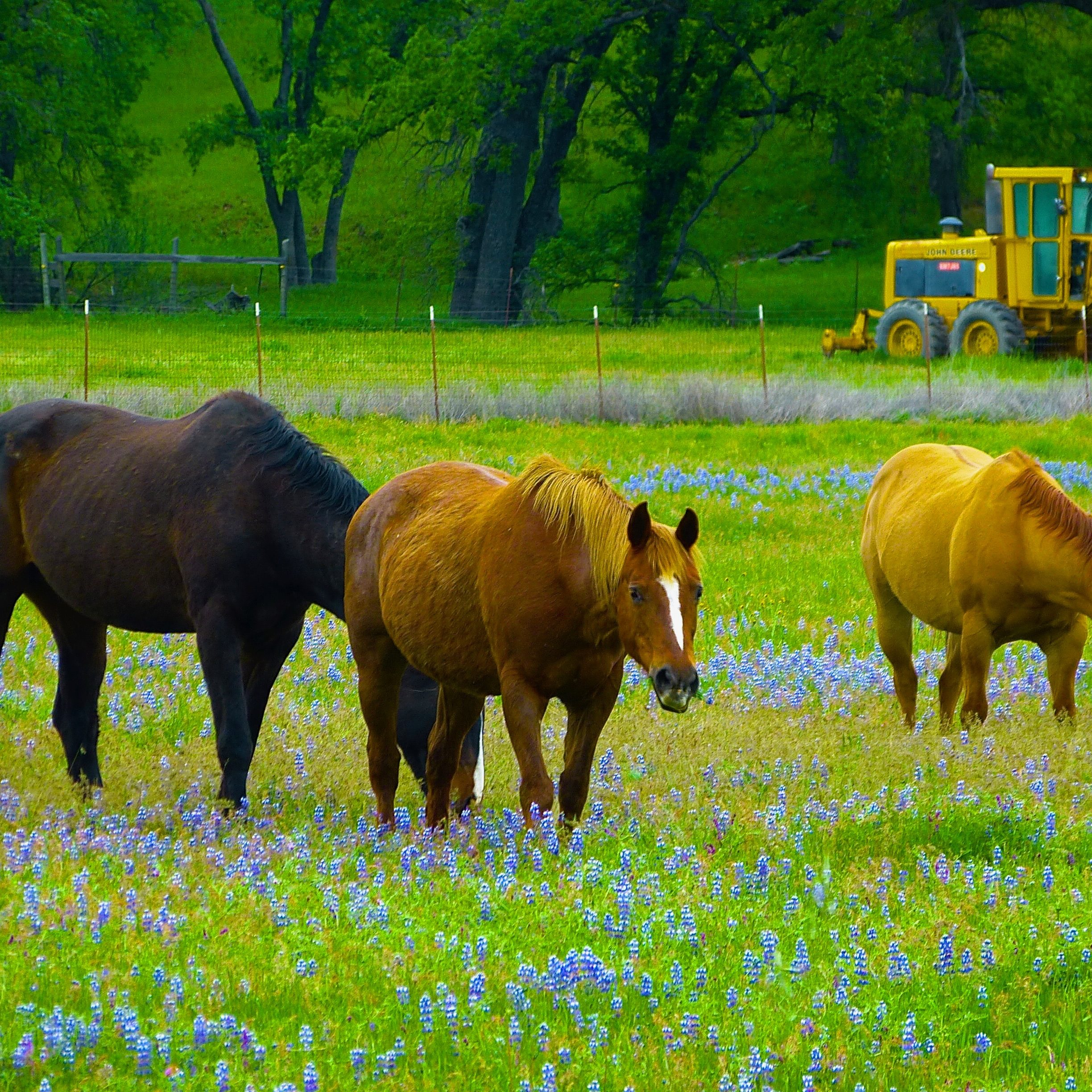 Horses in Lupine by Daniel Raskin Photography
